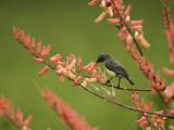 Immature Beautiful Sunbird (Cinnyris Pulchella) Feeding from Aloe Fotodruck von Ariadne Van Zandbergen
