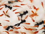 Goldfish Used for Capture Game in Tomakomai Festival Lmina fotogrfica por Shayne Hill