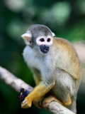 Squirrel Monkey (Saimiri Sciureus) About to Eat a Colourful Butterfly at an Animal Rescue Centre Fotografiskt tryck av Paul Kennedy