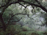 Oak Tree Forest after Storm Fotografie-Druck von Douglas Steakley