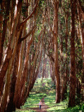 Woman Walking Through Eucalyptus Trees, the Presidio Photographic Print by Thomas Winz