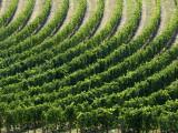 Rows of Grape Vines in Chianti Region Photographic Print by Rocco Fasano