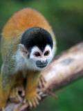 Squirrel Monkey (Saimiri Sciureus) Fotografisk tryk af Paul Kennedy