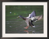 A Female Mallard Comes in for a Landing on the Chagrin River, Ohio, September 7, 2006 Framed Photographic Print by Amy Sancetta