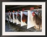 Chickens are Shown in Cages at Whiting Farms in Delta, Colorado, on Thursday, June 8, 2006 Framed Photographic Print by John Marshall