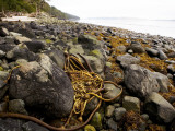 Kelp on Beach Near Telegraph Cove Photographic Print by Andrew Bain
