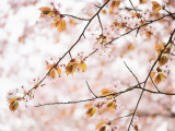 Cherry Blossums (Sakura) Near Shizunai Fotografisk tryk af Shayne Hill