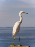 Great White Heron Photographic Print by Thomas Winz