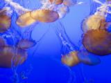 Black Sea Nettle Jellyfish at Monterey Bay Aquarium Reproduction photographique par Sabrina Dalbesio
