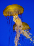 Jellyfish in Monterey Bay Aquarium Photographie par Douglas Steakley