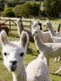 Alpacas on Farm Photographic Print by Rachel Lewis