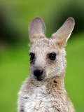 Young Kangaroo (Macropus Giganteus) at Pretty Beach Fotografisk tryk af Paul Kennedy
