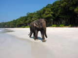 Indian Elephant (Elephas Maximus Indicus) Striding Along White Sand of Radhanagar Beach Photographic Print by Astrid Schweigert