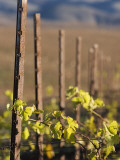 Vines in Winter at Carmel Road's Valley View Vineyard Photographic Print by Brent Winebrenner