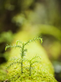 Shayne Hill - Plants and Moss Along Arakawa Trail to Jomon Sugui (Giant Tree) - Fotografik Baskı