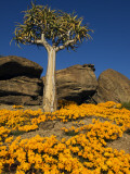 Quiver Tree (Aloe Dichotoma) and Flowering Daisies in Spring, Namaqualand Photographic Print by Ariadne Van Zandbergen