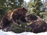 Grizzly Bears Playing in Snow on Grouse Mountain Photographic Print by Christopher Herwig