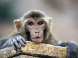 Monkey (Rhesus Macaque) at Monkey Temple, Galta Photographic Print by Lindsay Brown