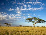 Acacia Trees under Blue Sky with Clouds Photographic Print by Sean Caffrey