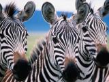 Group of Common Zebras Fotografisk tryk af Tom Cockrem