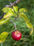 Apple Hanging from Orchard Tree, Huon Valley Photographic Print by Rachel Lewis