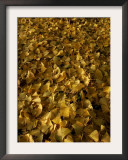 Ginkgo Leaves Cover the Ground at the Morton Arboretum Framed Photographic Print