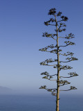 An Agave Plant (Agave Americana), Overlooking Pacific Ocean Photographic Print by Brent Winebrenner