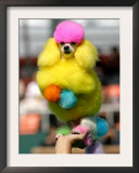 A Poodle Named Peter is Posed on its Owner's Hand During Competition at the World Dog Exhibition Framed Photographic Print