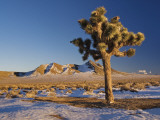 Joshua Trees at Darwin Plateau Covered with Snow after Winter Storm Fotodruck von Witold Skrypczak