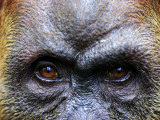 Close-Up of Female Orang-Utan, Gunung Leuser National Park Fotografisk tryk af Paul Kennedy