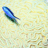 Blue Chromis Damselfish (Blue Chromis) Floating over Giant Brain Coral, Paradise Reef Photographie par Dan Herrick