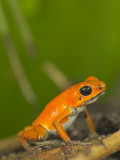 Strawberry Poison Frog (Dendrobates Pumilio) Photographic Print by Alfredo Maiquez