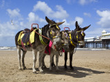 Donkey Rides on Blackpool Beach Photographic Print by Neil Setchfield