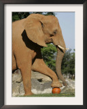 An African Elephant Prepares to Smash a Pumpkin Framed Photographic Print by Wilfredo Lee