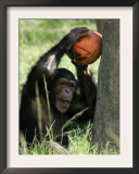 A Young Chimpanzee Attempts to Crack a Coconut Colored Orange to Look Like a Pumpkin Framed Photographic Print by Wilfredo Lee