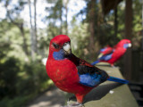 Rosella Birds at Barrington Tops Huts Photographic Print by Shayne Hill