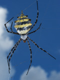 Garden Orb Spider (Argiope Australis) Photographic Print by Ariadne Van Zandbergen