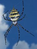 Garden Orb Spider (Argiope Australis) Photographic Print by Ariadne Van Zandbergen