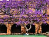 Ross Barnett - A Large Jacaranda Tree in the Corner of the Main Building Quadrangle at Sydney University - Fotografik Baskı