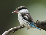 Striped Kingfisher (Halcyon Chelicuti) Photographic Print by Ariadne Van Zandbergen