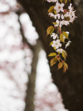 Cherry Blossums (Sakura) Near Shizunai Photographic Print by Shayne Hill