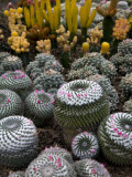 Cactus Garden in the Pine View Nursery Fotografisk tryk af Antony Giblin