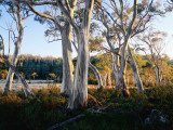 Snowgums Near Lake St Clair Photographic Print by Rob Blakers