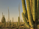Cirio Trees and Cardon Cacti Near Catavina Photographic Print by Witold Skrypczak