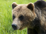 Brown Bear at Alaska Wildlife Conservation Center Photographic Print by Mark Newman