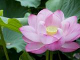 Enormous Lotus Blossom in Shinobazu Pond, Ueno Park Fotodruck von Rachel Lewis