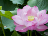 Enormous Lotus Blossom in Shinobazu Pond, Ueno Park Photographic Print by Rachel Lewis