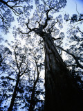 Eucalypt Trees from Below in Southeast Tasmania Photographic Print by Rob Blakers