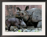 Hartali, a Rhinoceros at the Patna Zoo, is Seen with Her New Baby in Patna, India, January 24, 2007 Framed Photographic Print by Prashant Ravi