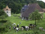 Dairy Herd of Brown and White Cows with Farm Buildings Near Blangy-Le-Chateau, Pays D'Auge Fotografie-Druck von Barbara Van Zanten